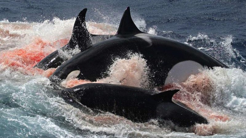Unprecedented Images Show Australian Orcas Hunting And Killing Rare Beaked Whales