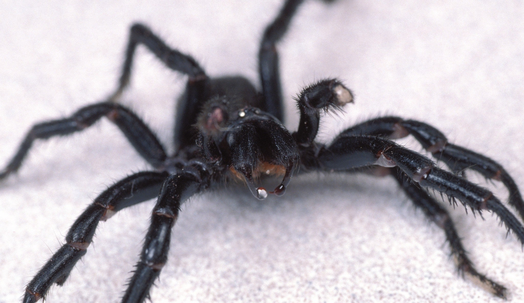 Australian Scientists Inject Spider Venom Into The Brain To Protect It From Strokes