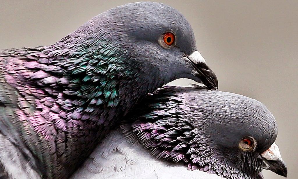 Pigeons Are Misunderstood Mermaids