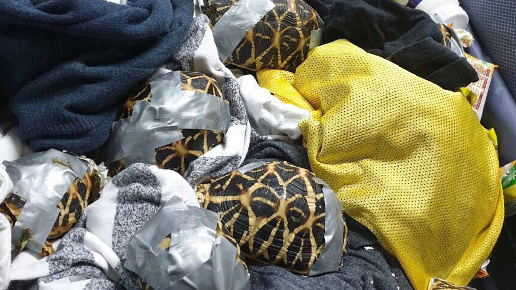 Hundreds Of Exotic Turtles And Tortoises Wrapped In Duct Tape Found In Airport Luggage