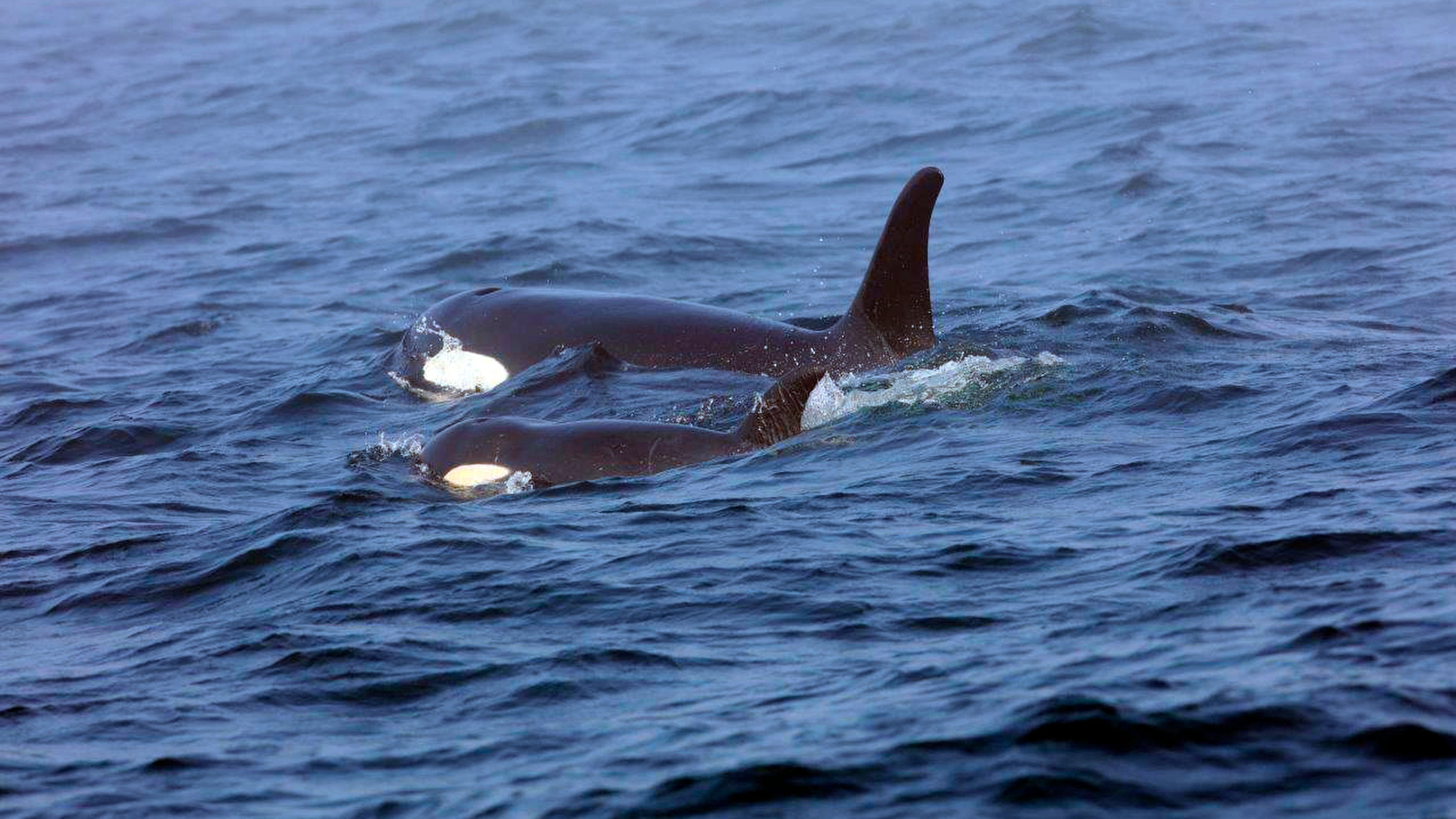 Rest In Peace, Young Orca J-50