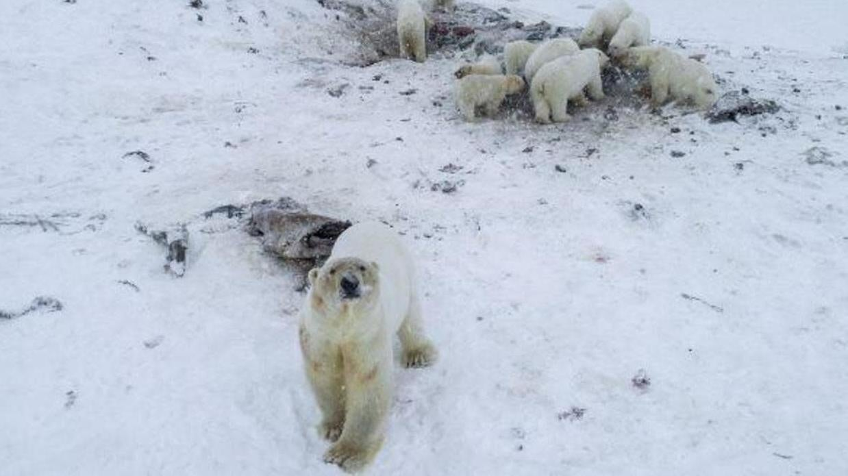 Polar Bears Have Invaded A Russian Town… Again