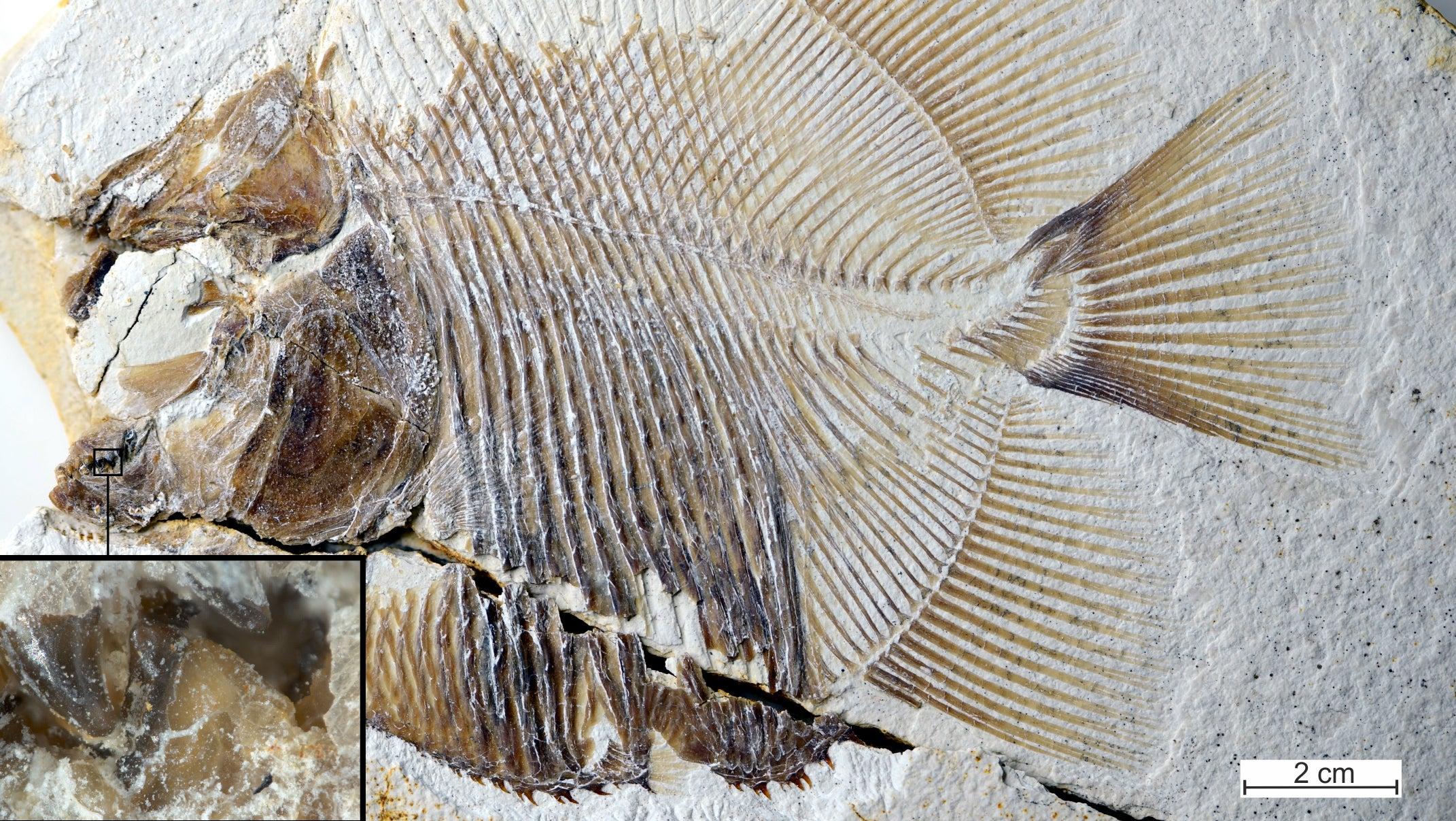 Flesh-Eating, Piranha-Like Fish Terrorised Jurassic Seas Because Of Course They Did