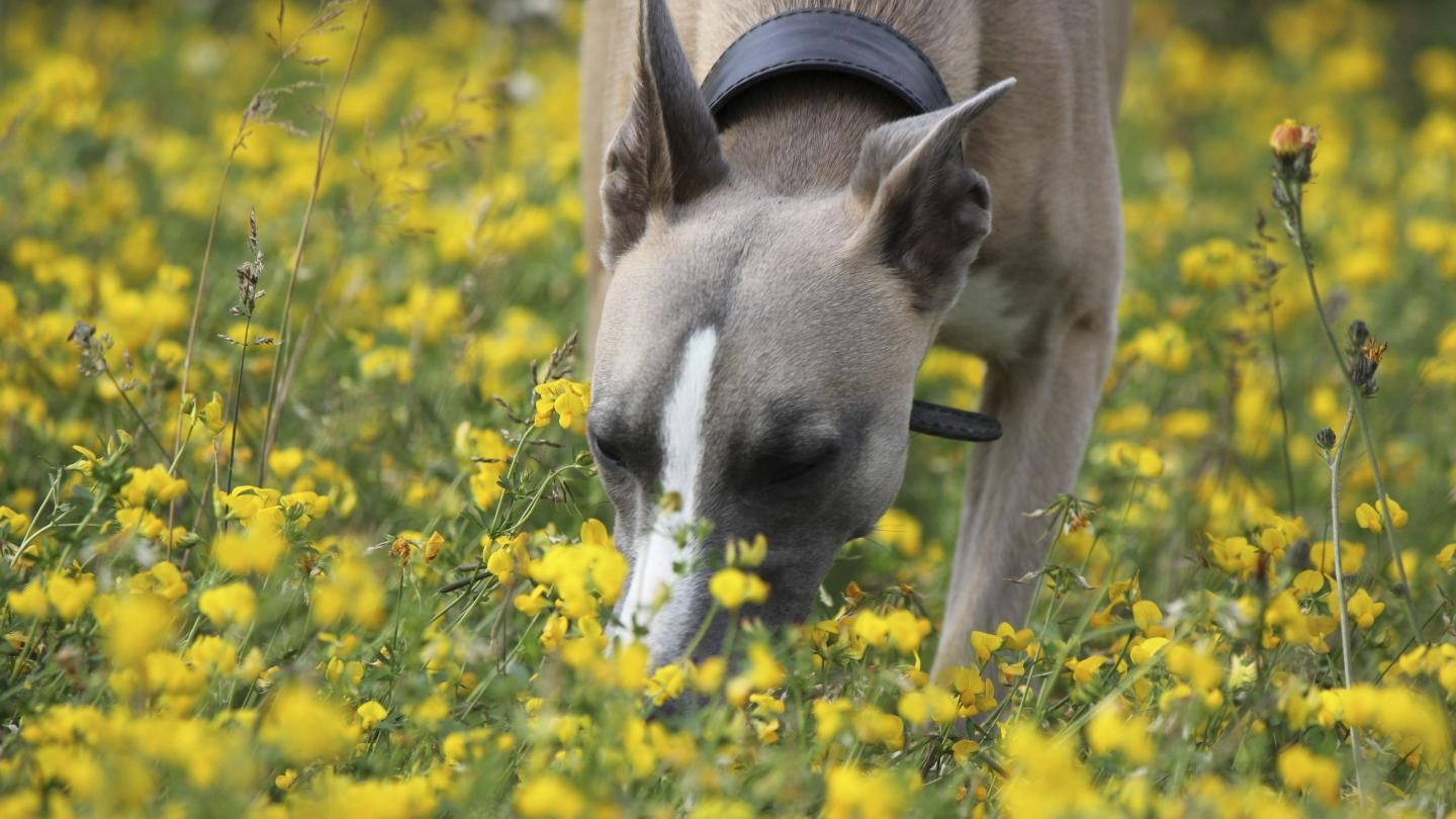 More Evidence That Dogs 'See' The World With Their Powerful Noses