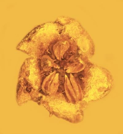 Ancient Poisonous Flower Preserved in Amber Looks Dangerously Delicious