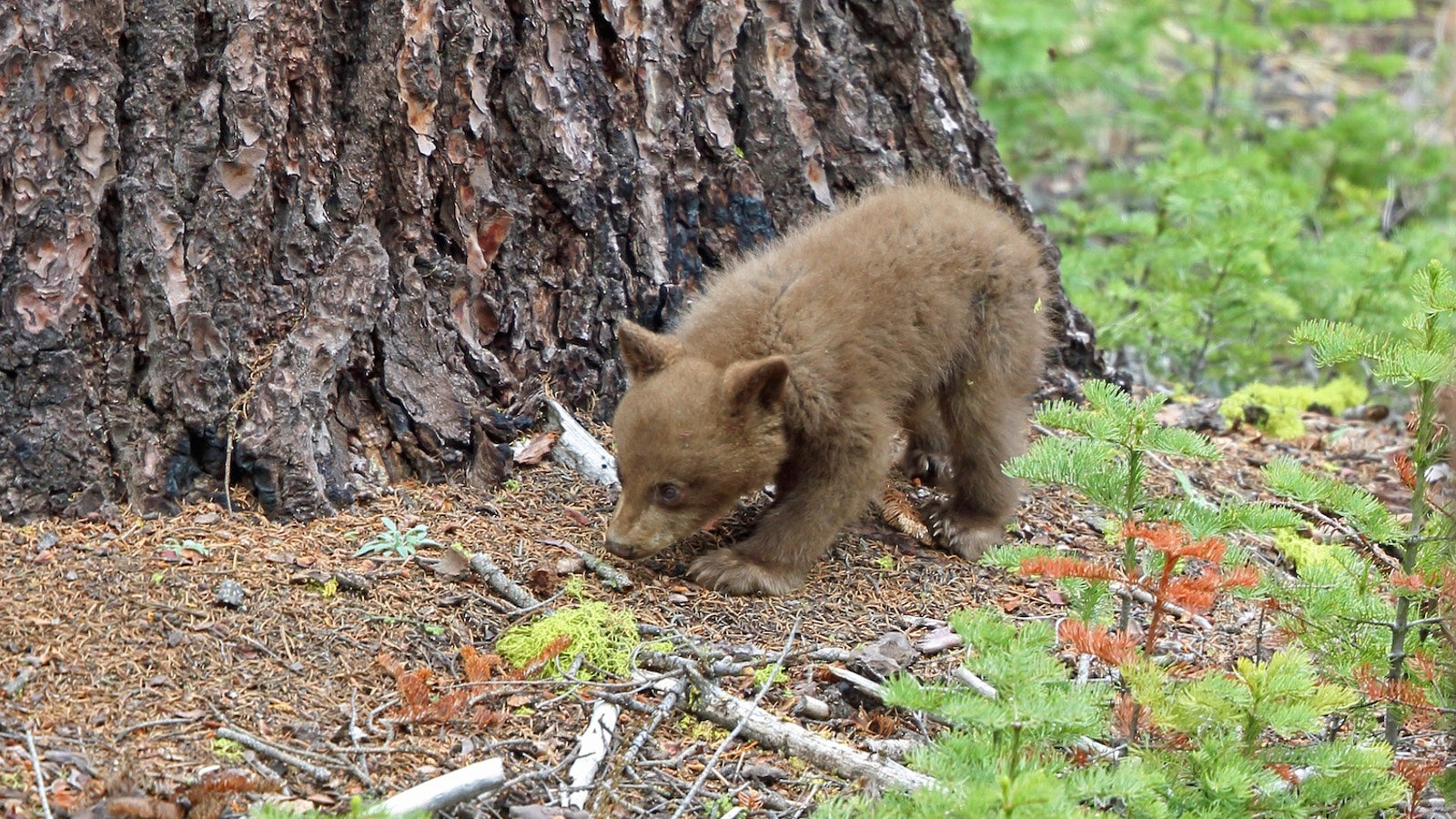 Yosemite National Park To Offer Peep Show For Bear Fans