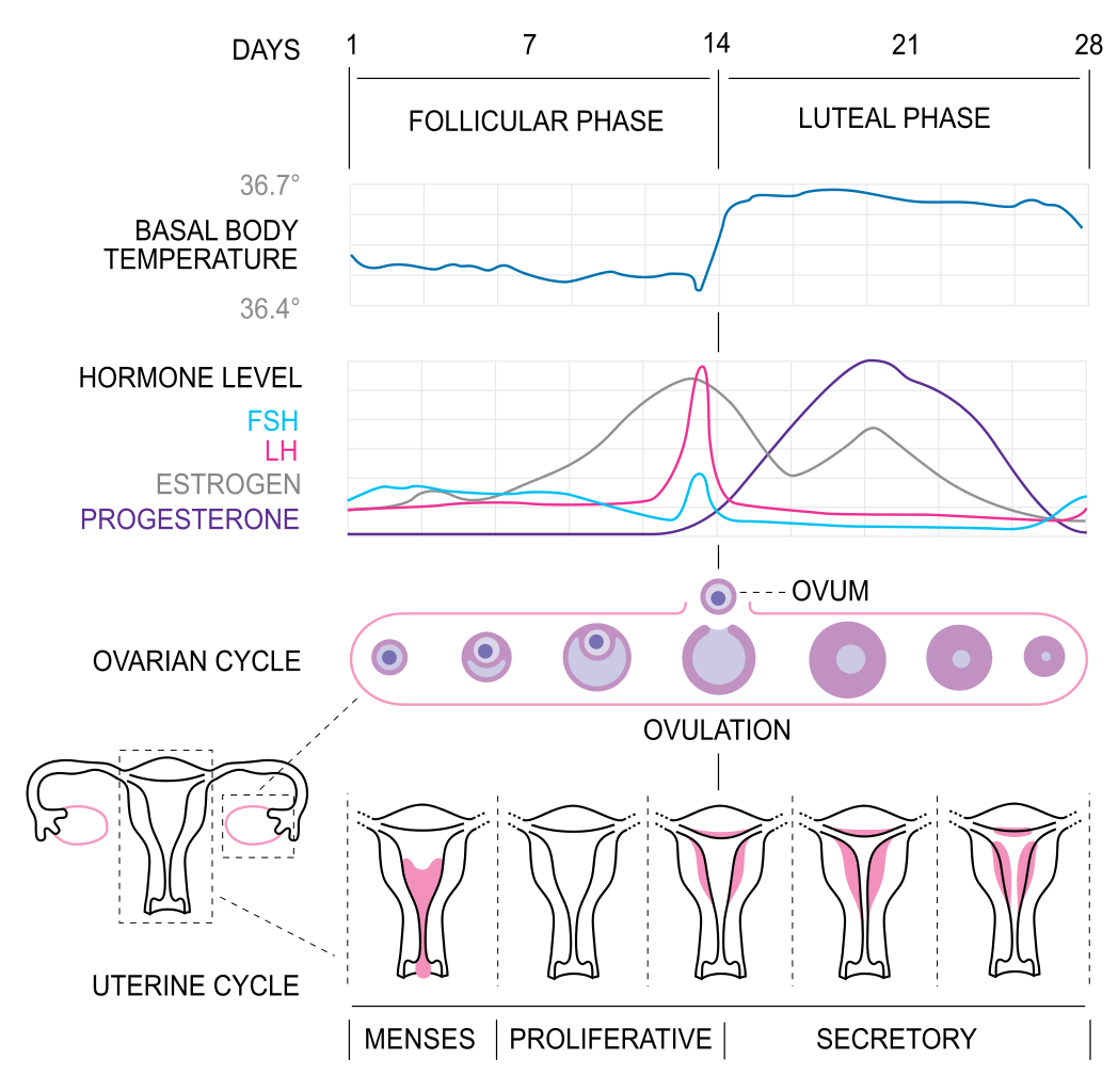 The Complicated Science Behind When Babies Are Conceived