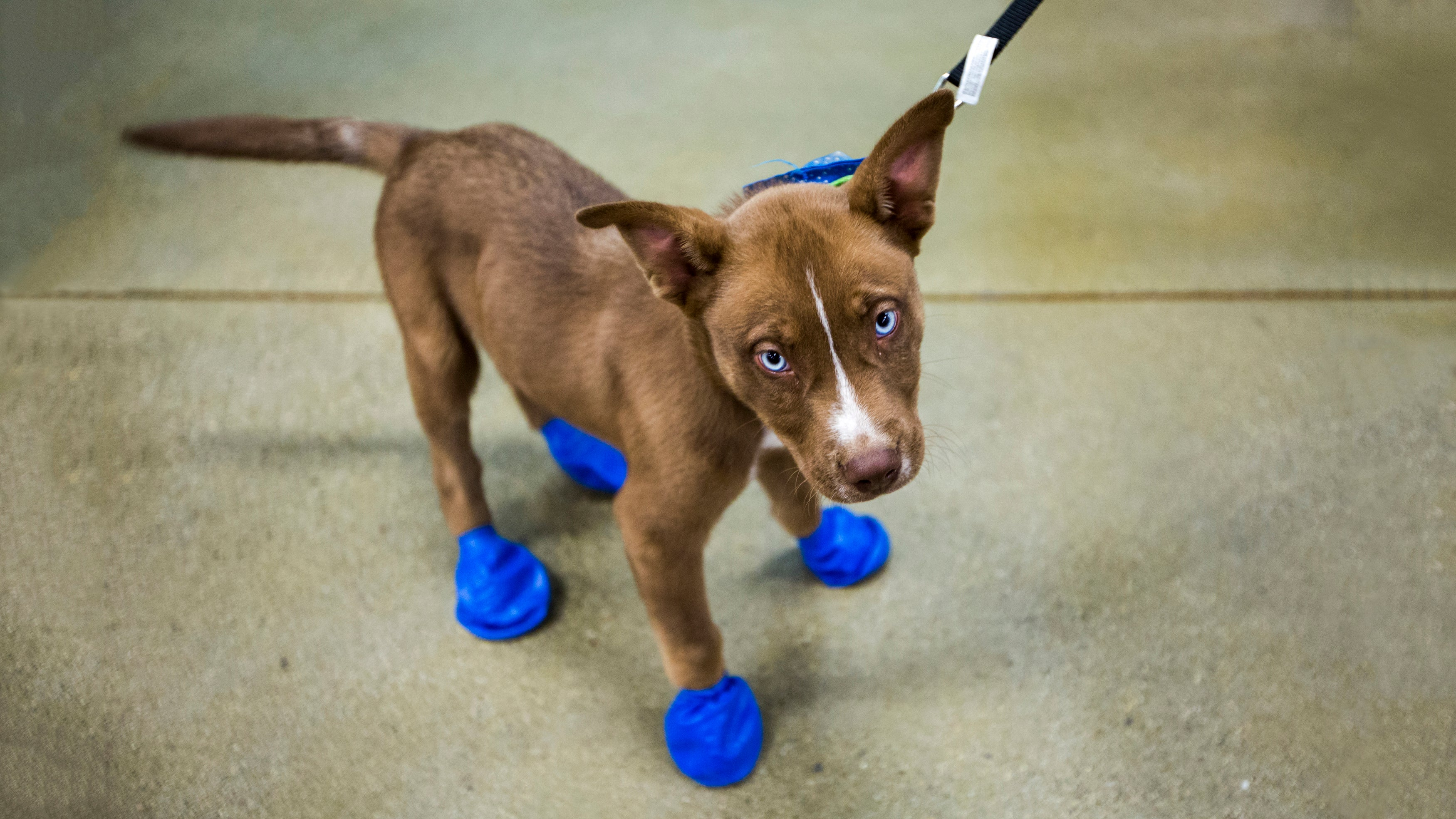 It's So Hot In Arizona Right Now, Puppy Feet Are Frying