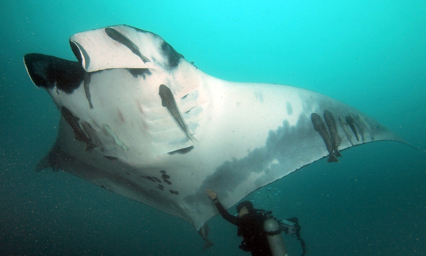 Giant Manta Rays Are More Badarse Than We Realised