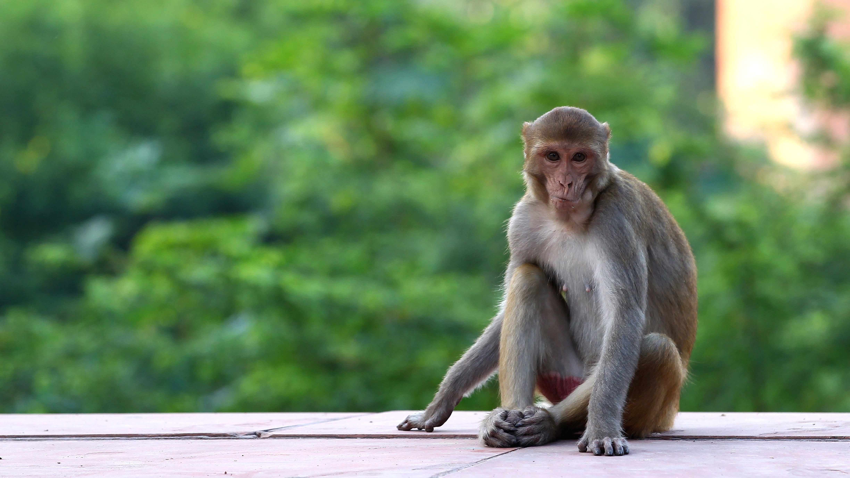 India's Monkeys Keep Killing People, So Scientists Are Trying Radical New Sterilisation Strategies