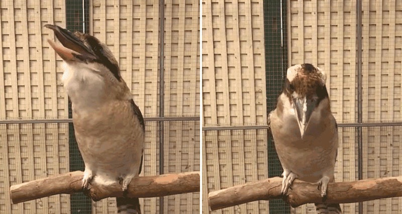 A Kookaburra Laughing In Slow Motion Is Your New Nightmare Fuel