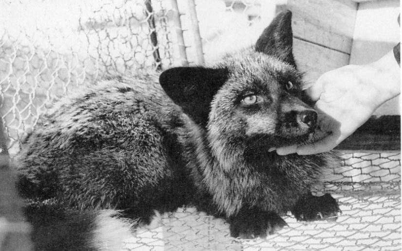 Famous Foxes Bred For Tameness Weren't Actually Wild In The First Place, Claims Controversial New Paper