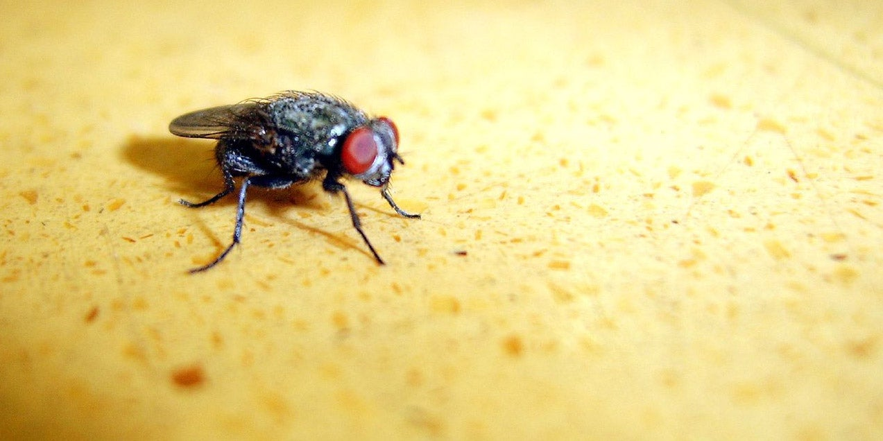 Why Flies May Be the Future of Forensic Science