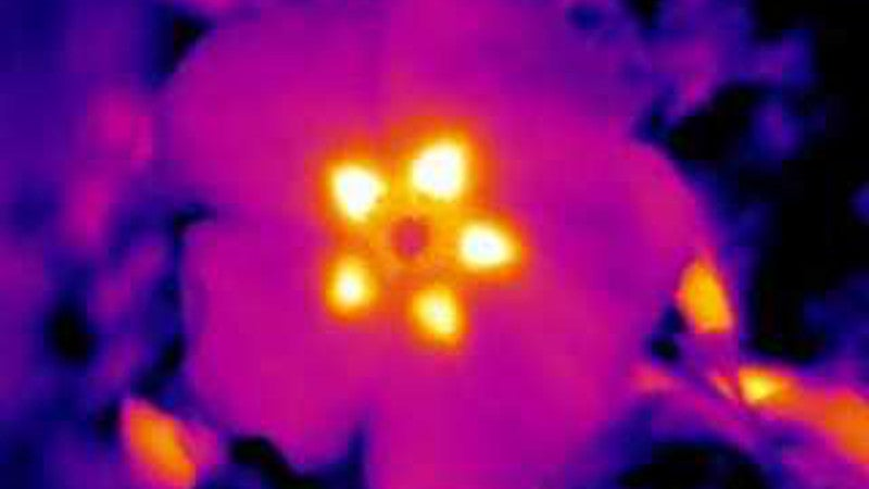 Flowers Express 'Invisible' Heat Patterns To Attract Bees