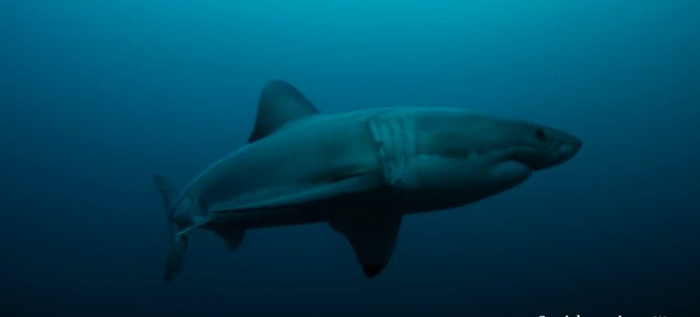 Scientists: A mysterious animal ate an entire 9-foot great white shark