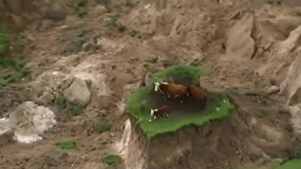 Earthquake Leaves Cows Stranded On A Tiny Piece Of Grass