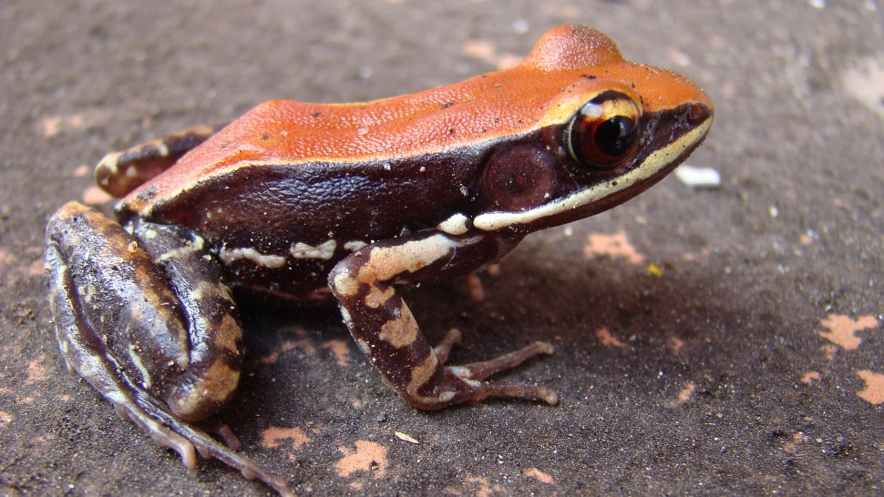 Frog Slime Could Prevent The Next Pandemic