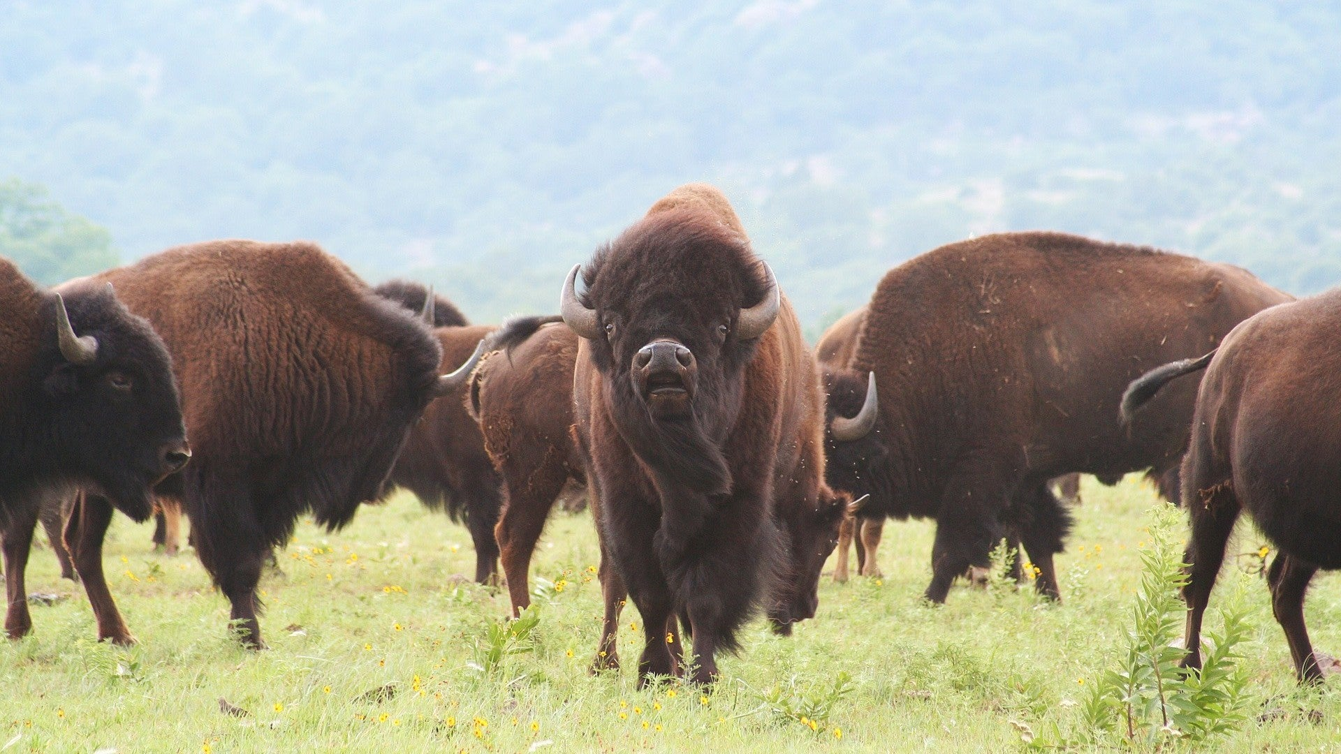 If You're Visiting The United States, Step Away From The Bison