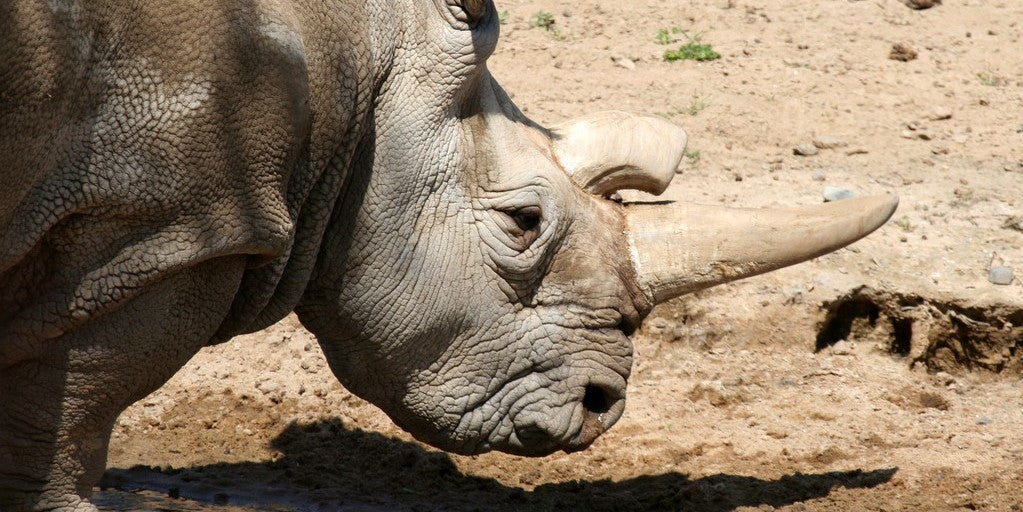 The Only Way to Save the Northern White Rhino Is a Jurassic Park-Style Intervention