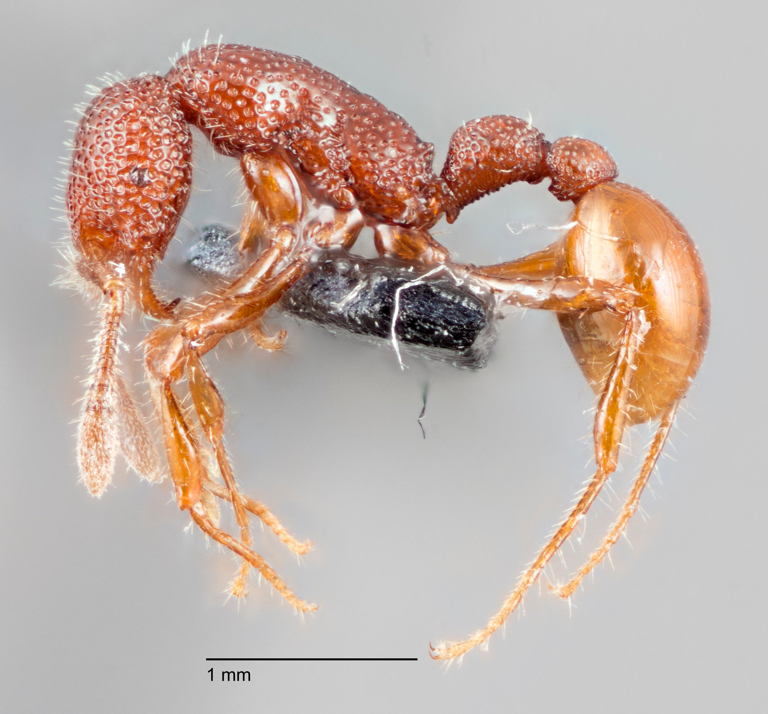 Terrifying-Looking T.Rex Ants Actually Total Wimps