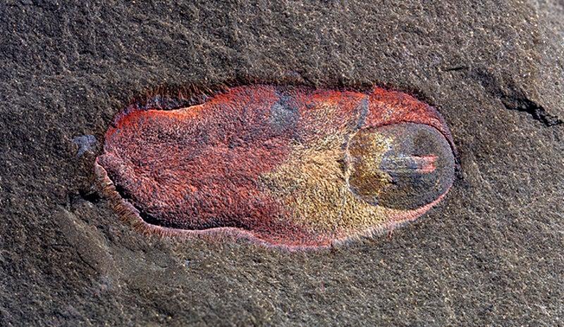 480-Million-Year-Old Slug Looks Like A Horrifying Mutated Bathmat