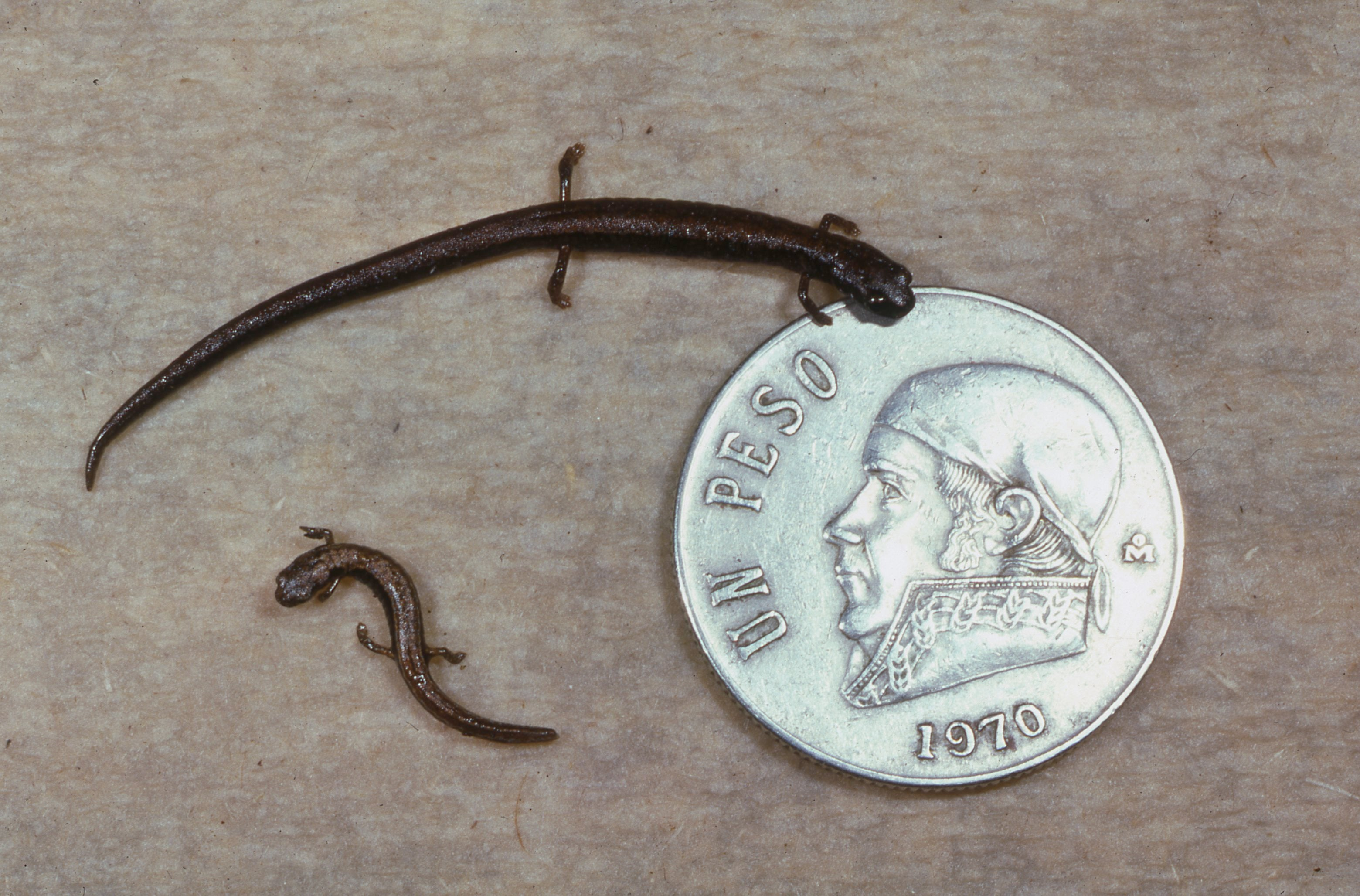 Scientists Just Discovered Three Adorably Tiny New Salamanders