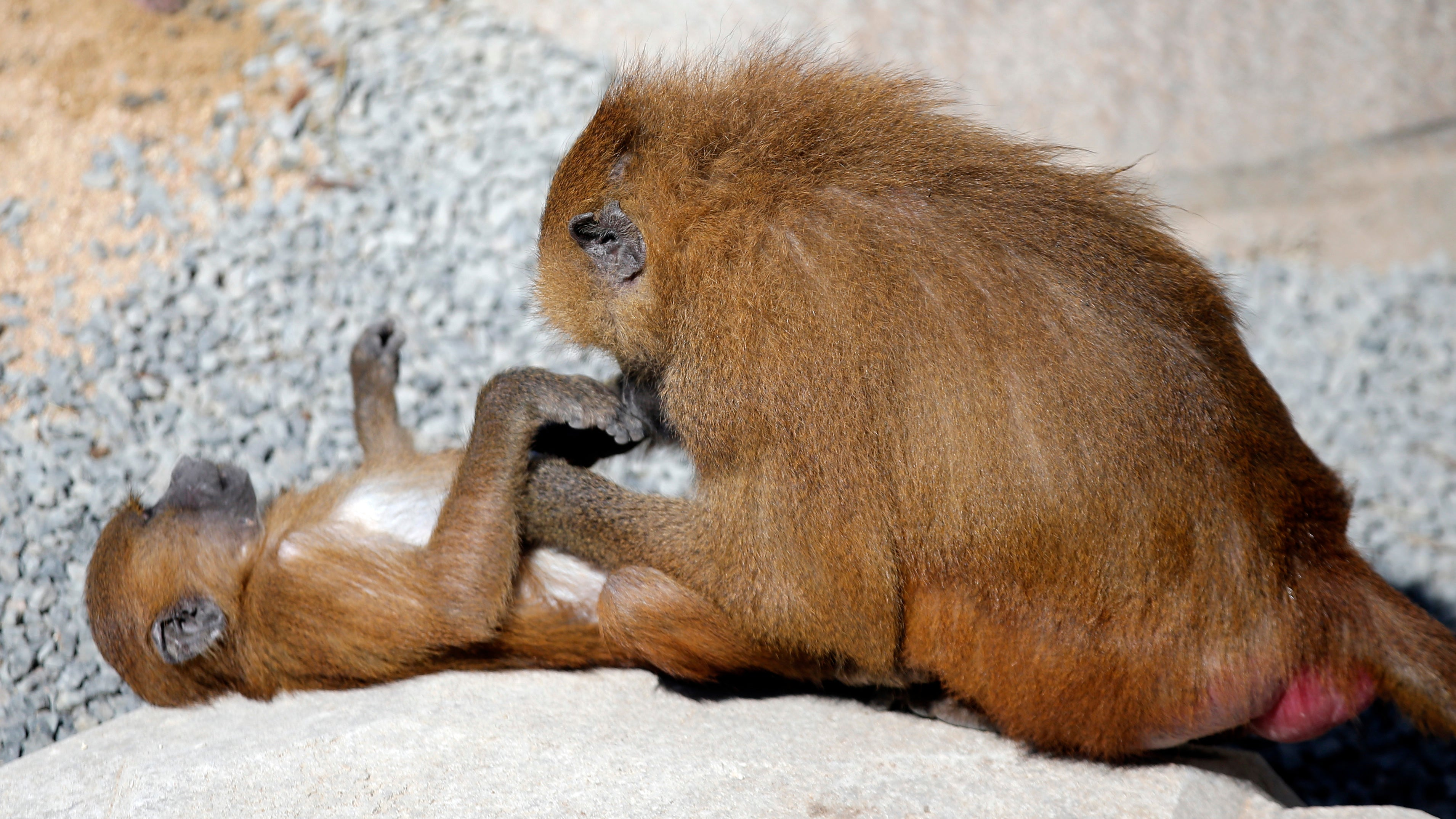 Parisian Zoo Recaptures 50 Escaped Baboons