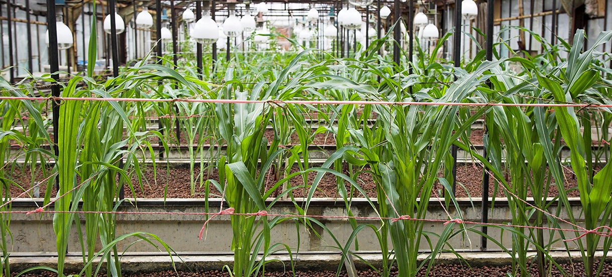 Corn Grown in Space Caves Could Be the Future of Farming