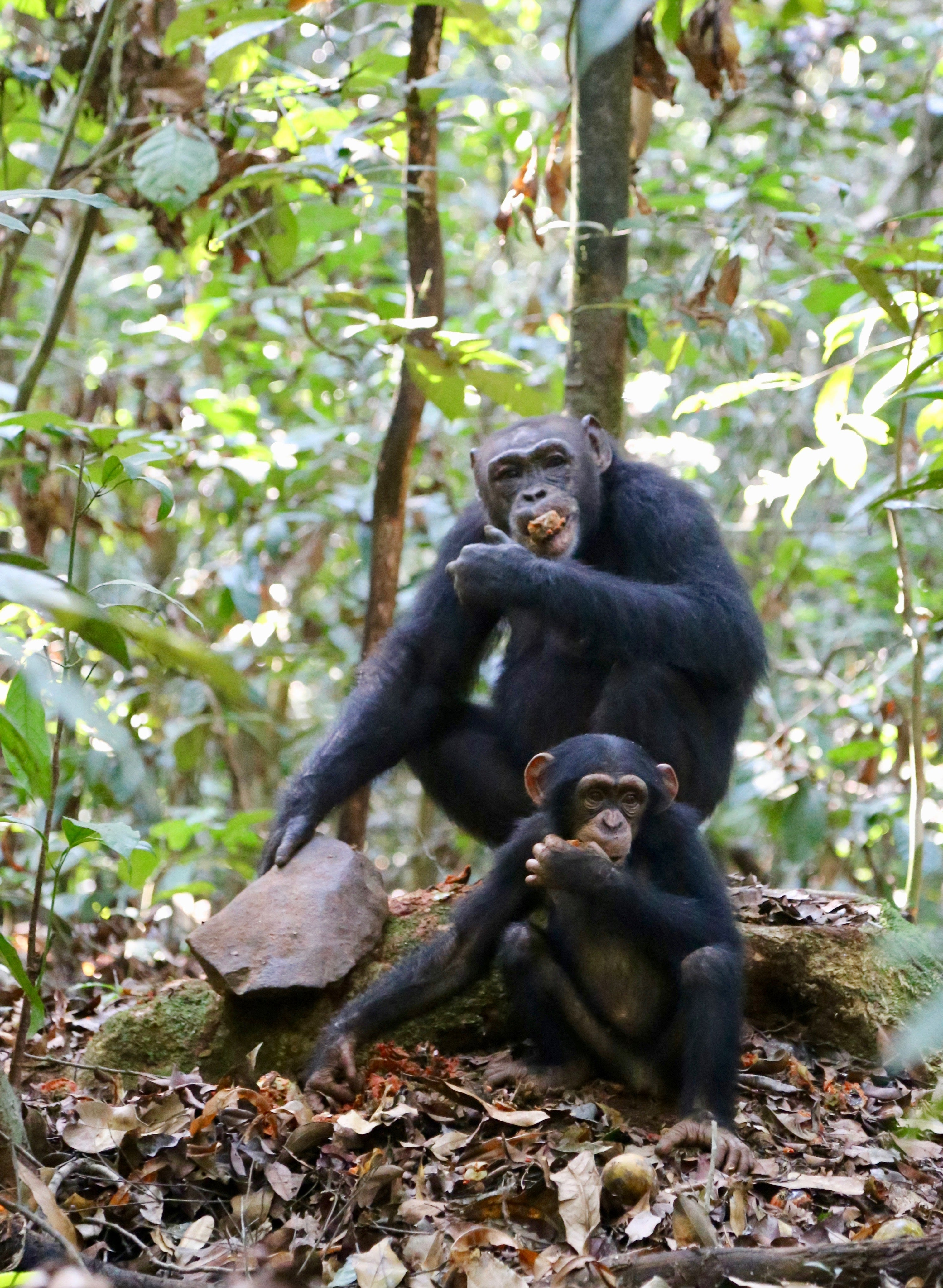 Chimpanzee Traditions Are Being Lost Along With Their Habitats