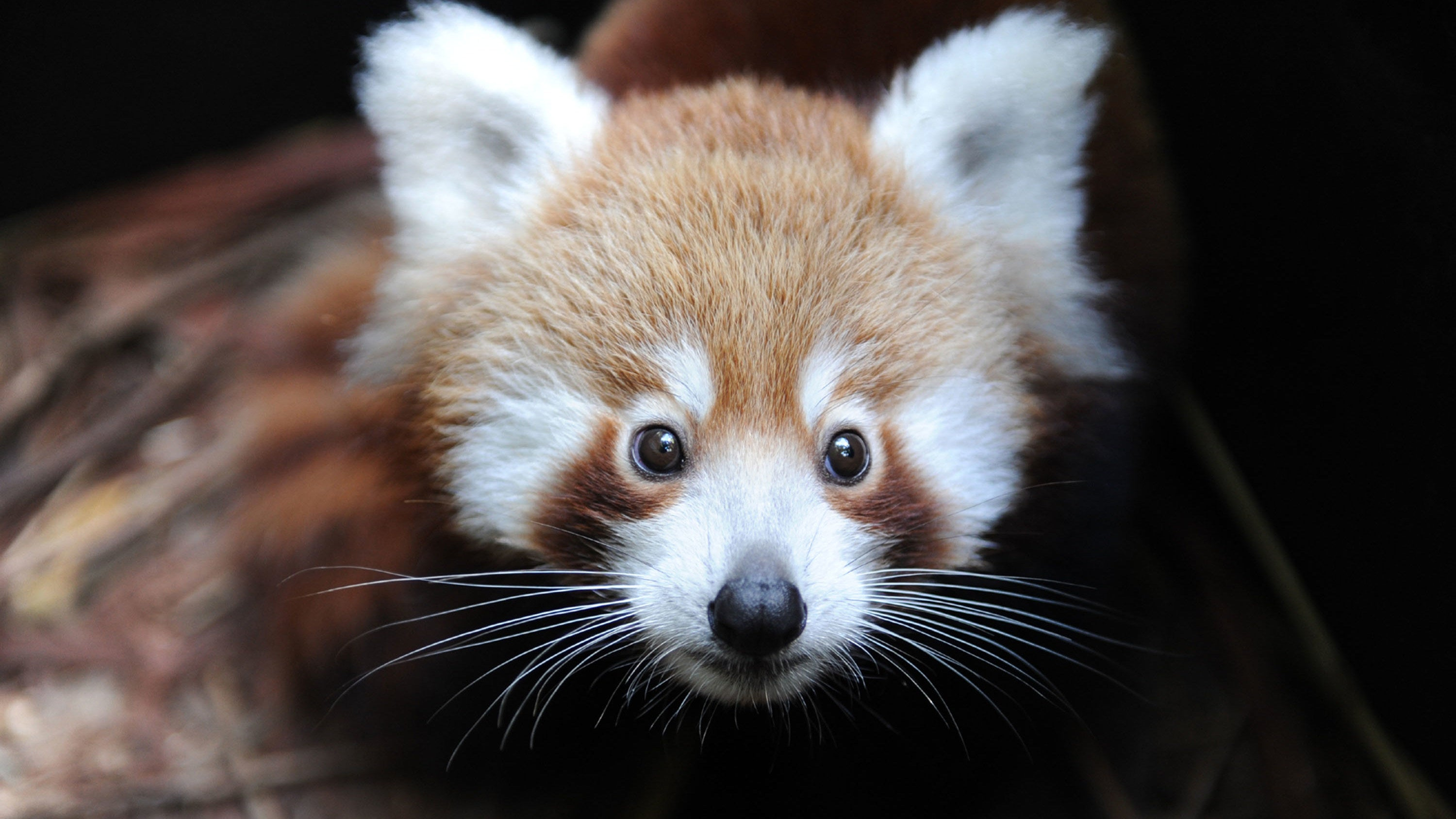 Red Pandas Might Actually Be Two Species