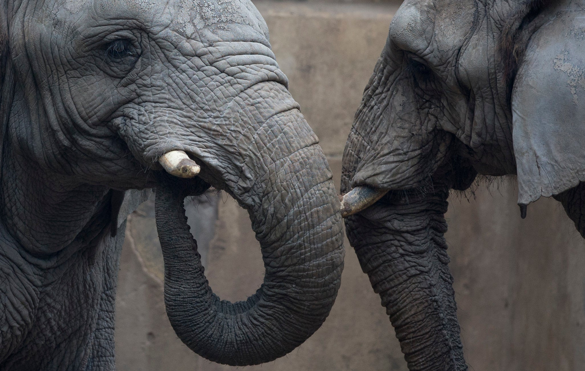 We Need To Save Large Mammals From Extinction Before It's Too Late