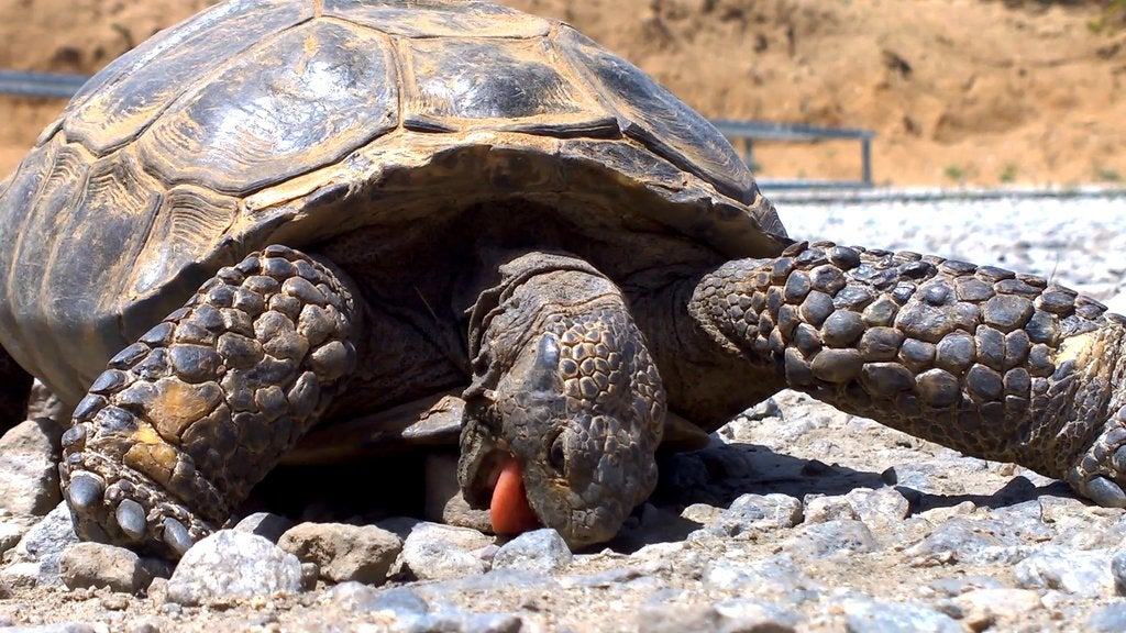 Is It Time for Food Yet? This Tortoise Will Munch on Rocks Until Then