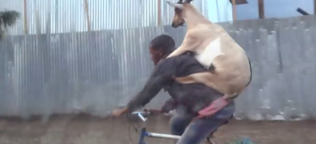 Seeing a goat ride a man riding a bike is just as absurd as it sounds