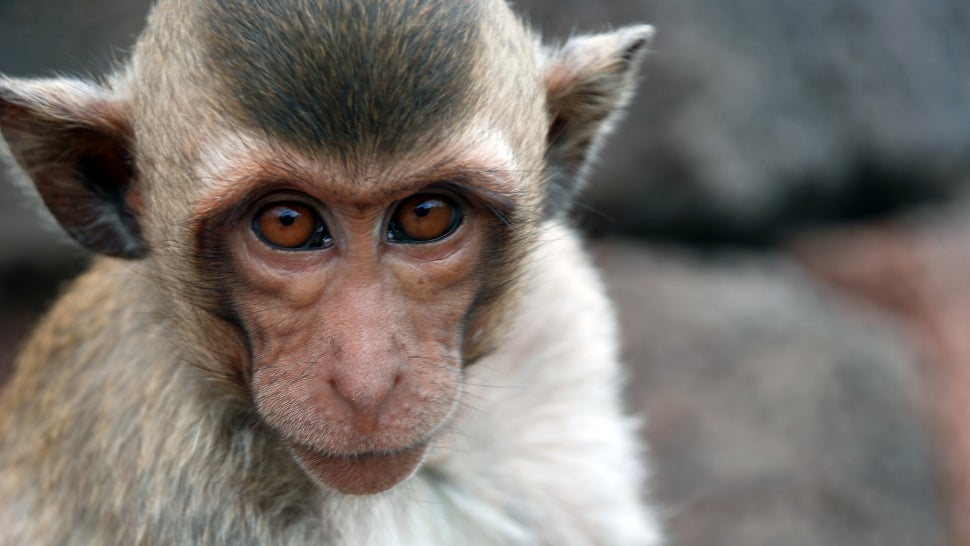 Scientists Claim To Perform Head Transplant On Monkey, Experts Say Prove It