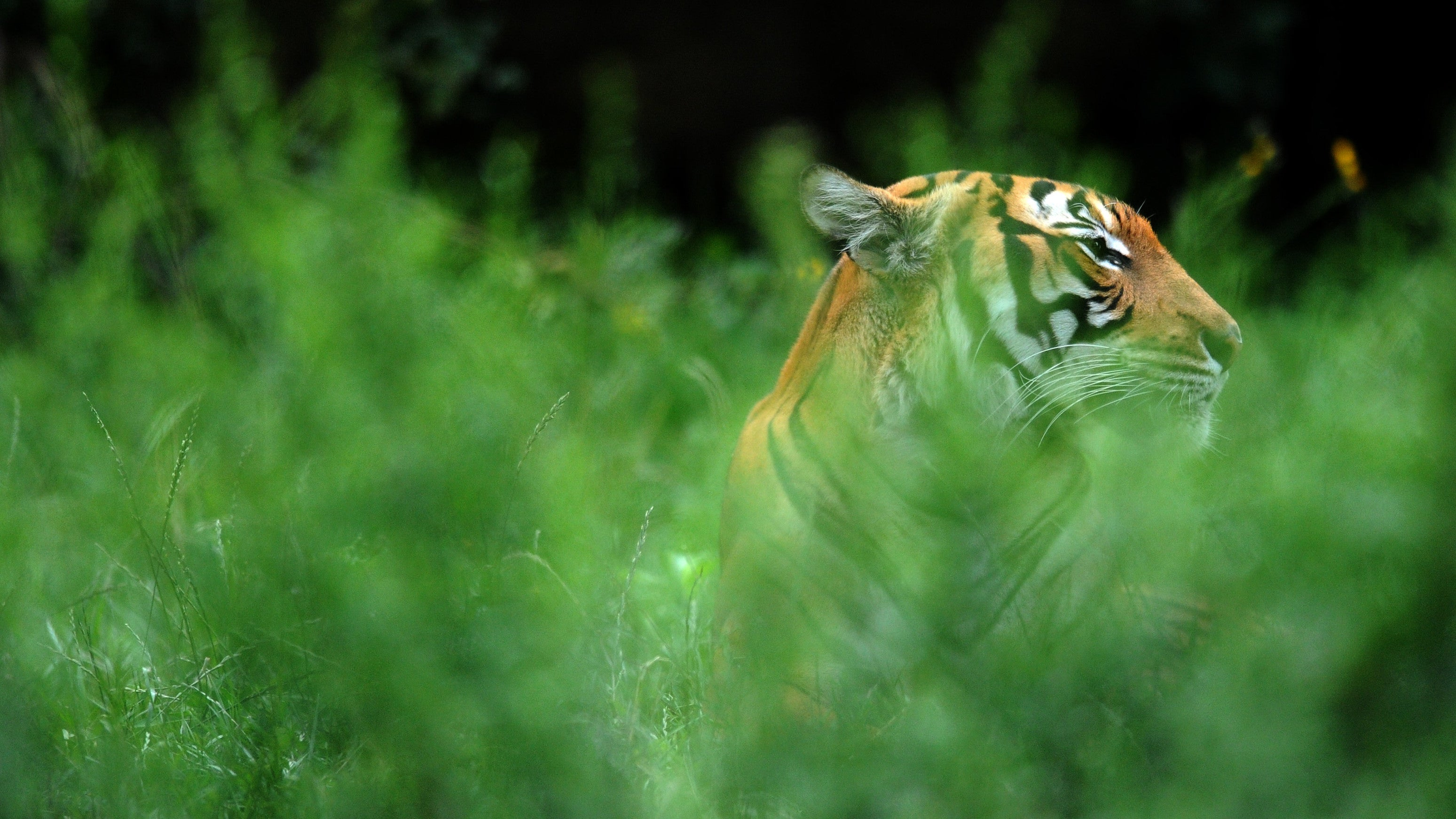 So, Why Was A Tiger Able To Get A Coronavirus Test?
