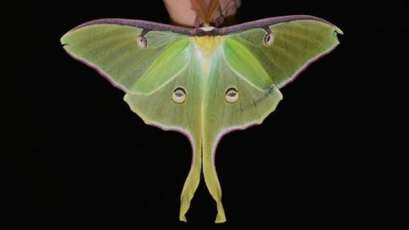 How Luna Moths Use Sound Waves For Camouflage