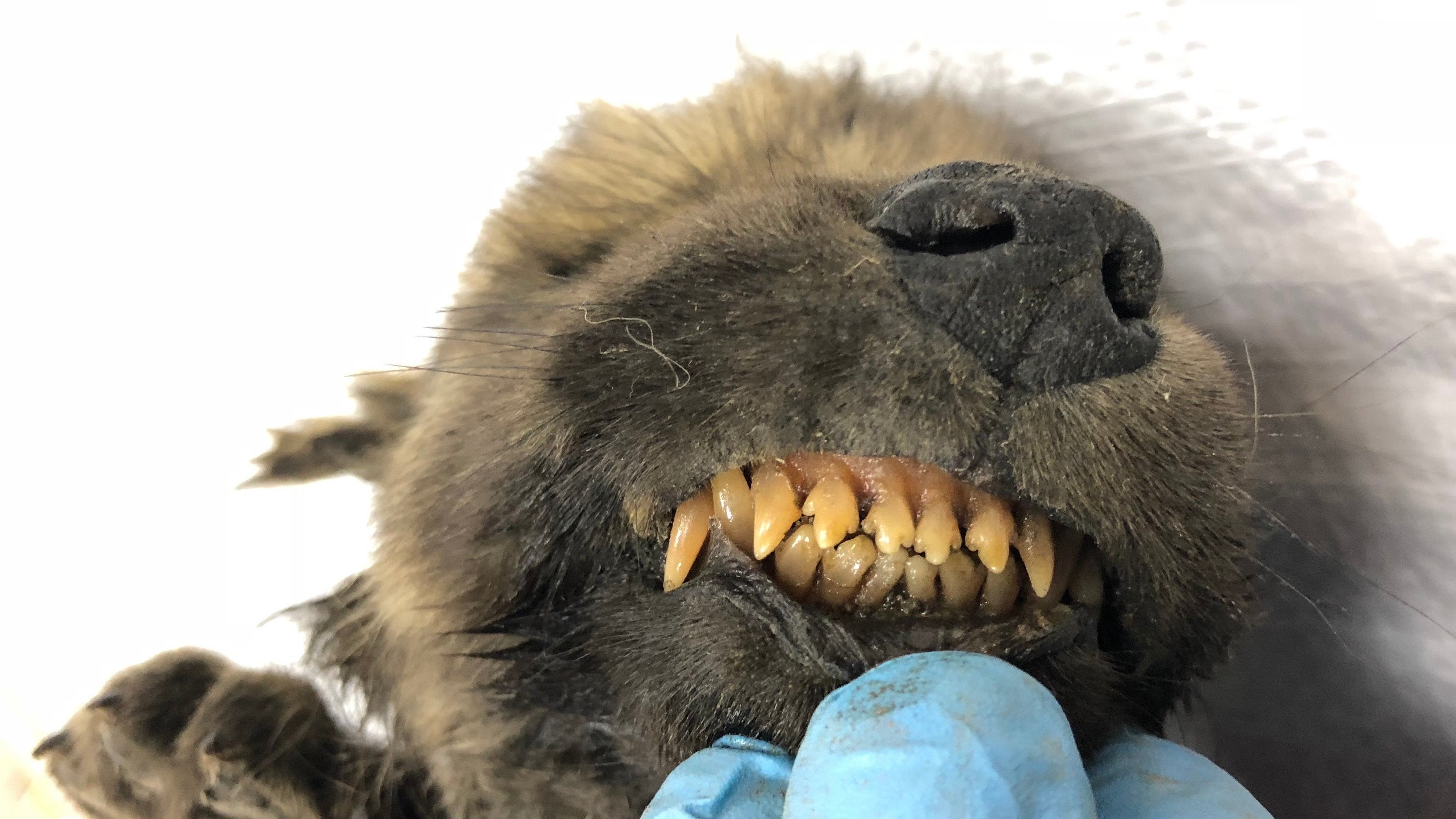 Found Frozen And Almost Perfectly Preserved In Permafrost, This 18,000-Year-Old Puppy Could Be A Huge Deal