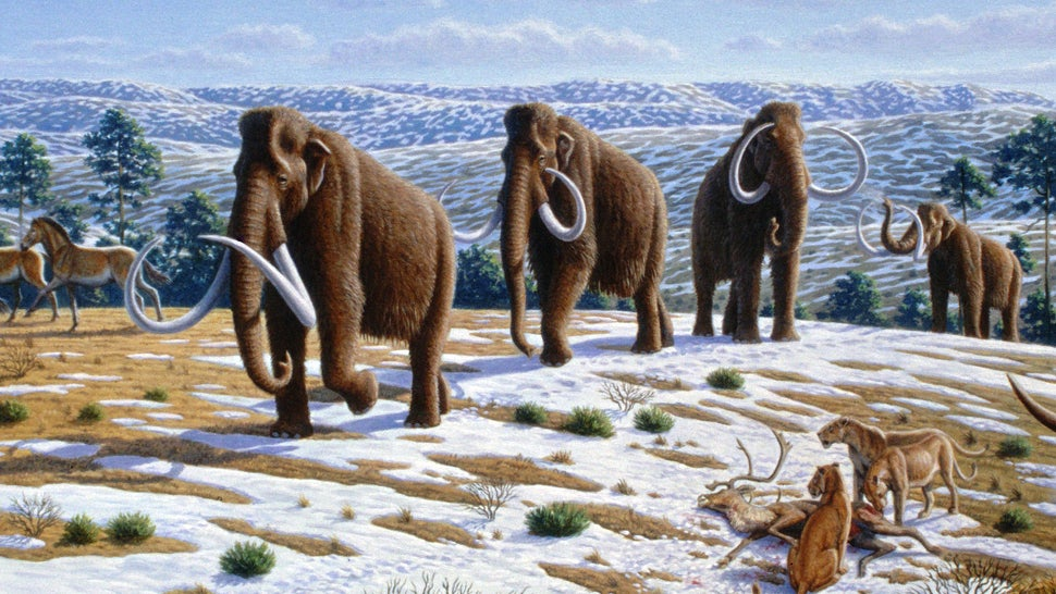Demand For Ivory Has Spawned A Woolly Mammoth 'Rush' In Siberia