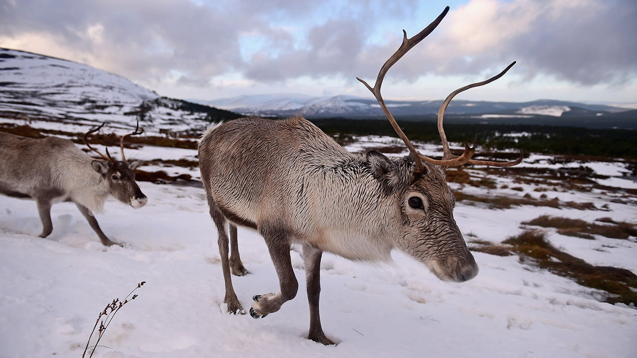 400,000 Reindeer Vanish In Ongoing War On Christmas