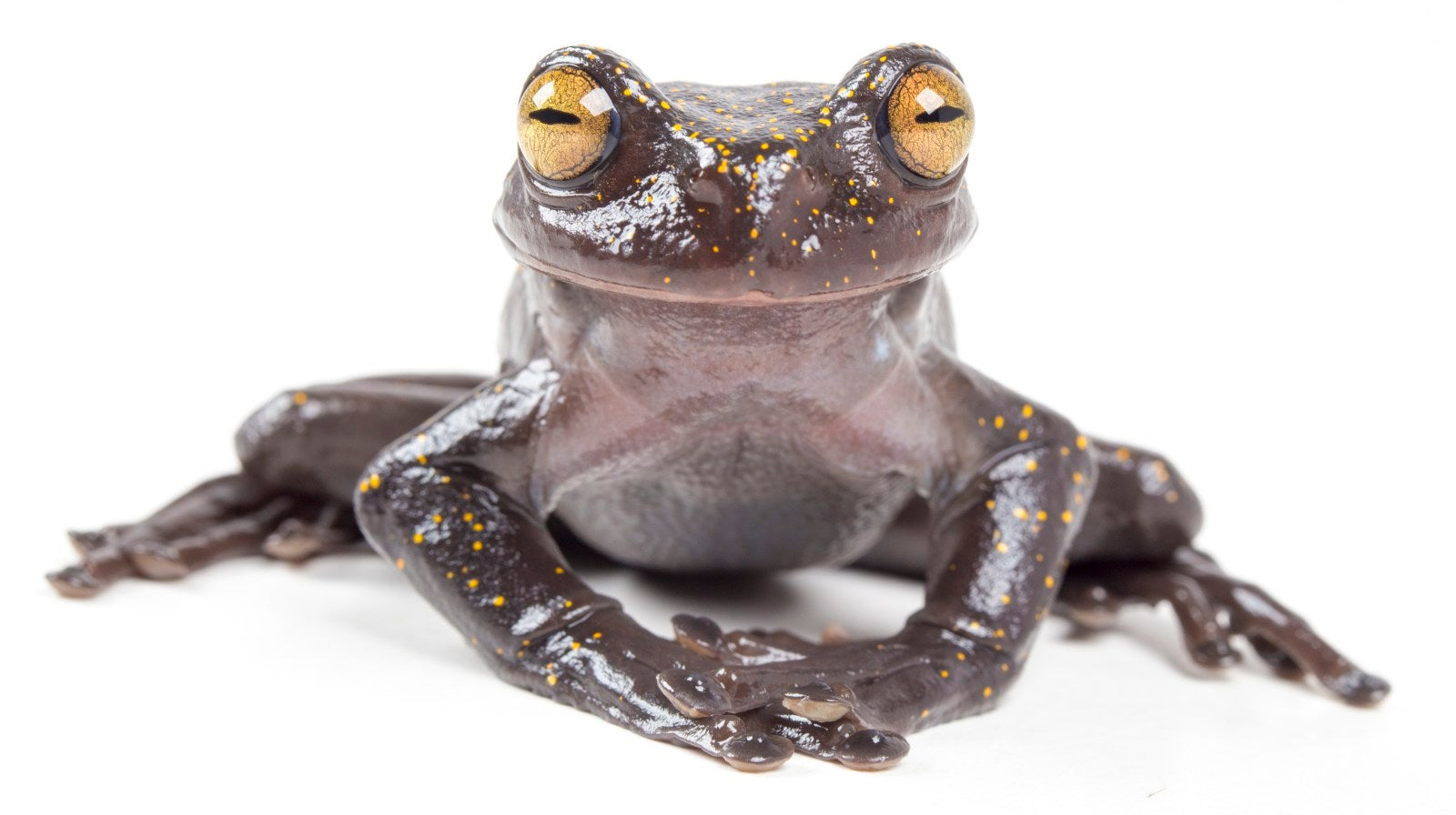 Charming, Newly Discovered Treefrog Has A Mysterious Claw