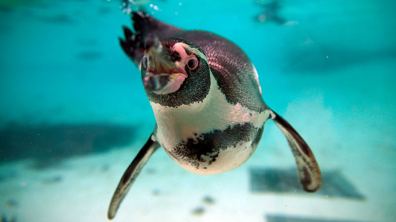 Zoo Opens Investigation After Seven Penguins Drown