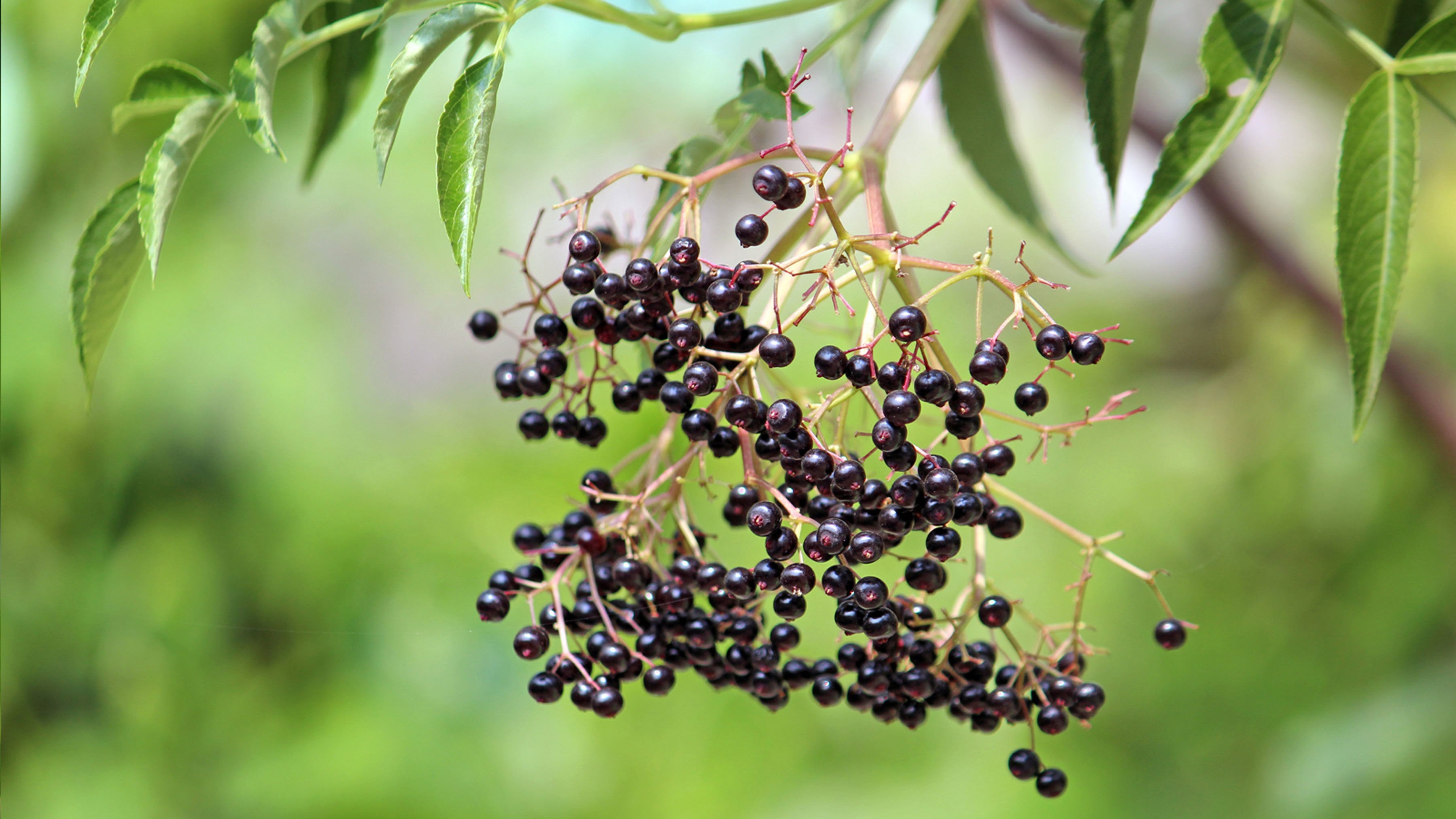 Will Elderberry Syrup Help Your Cold?