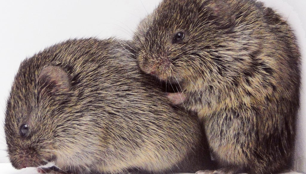 Why Prairie Voles Cuddle The Crap Out Of Their Partners