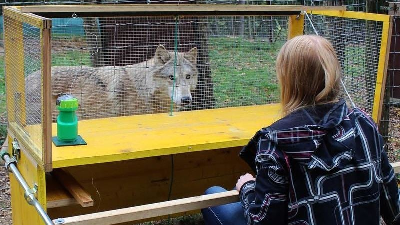 Are Wolves Better Problem Solvers Than Dogs?