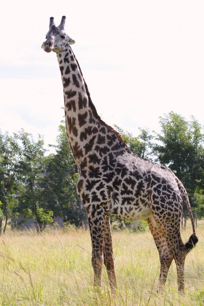 how the giraffe got its long Why don't we have evolutionary hypotheses explaining how the giraffe got its  short neck whether the neck is long or short depends on our.
