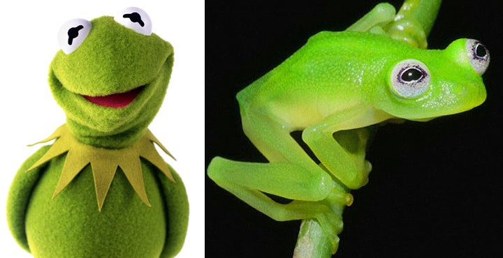 Newly discovered frog species looks a lot like Kermit the Frog