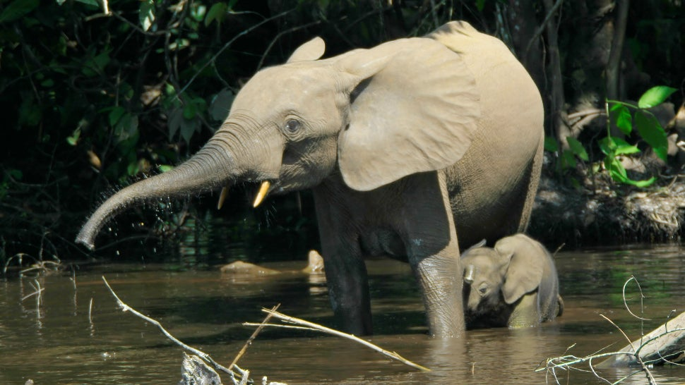 Africa's Elusive Forest Elephants Are Being Poached At A Staggering Rate