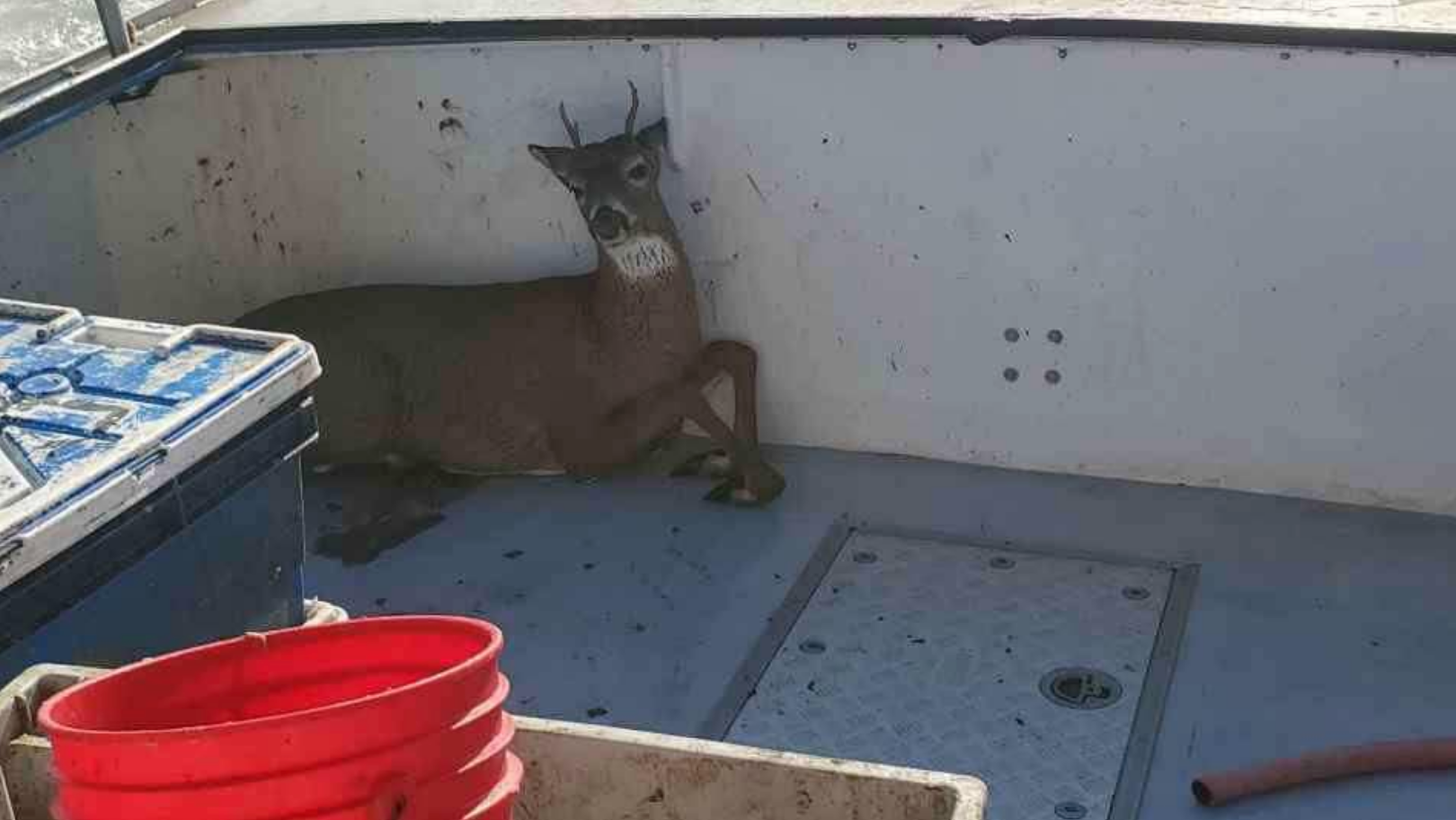 Stunned Fishermen Rescue A Deer Swimming 8 Kilometres Off The Coast Of Maine