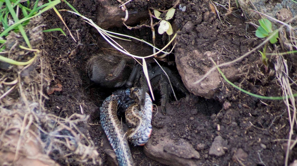 First Scientific Account Of A Tarantula Eating A Snake Is Pure Nightmare Fuel