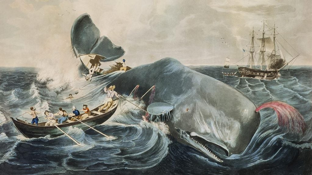 Sperm Whales Are the World's Largest Battering Rams